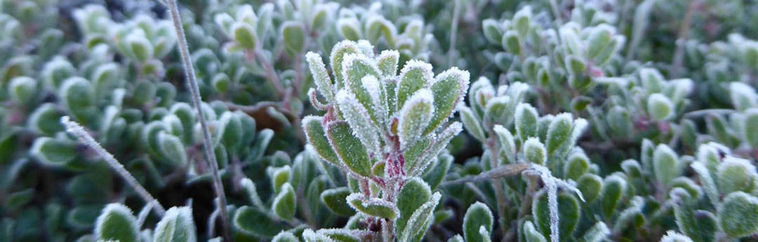 Frost on Arctostaphylos pumila November 2016