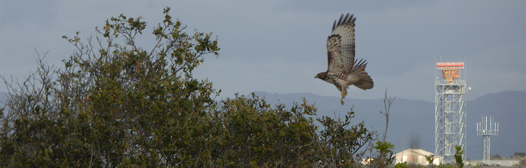 Red tailed hawk in flight, with Marina Municipal Airport in the background.