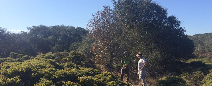 Researchers talk among oaks and maritime chaparral